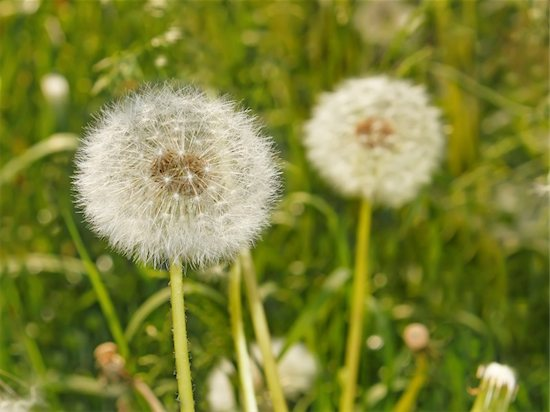Dandelions in a field, which can be responsible for seasonal allergies.